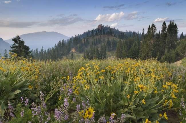 Wildflowers at sunrise along Lassen Peak Road, Lassen Volcanic National Park, Mount Lassen, California, USA