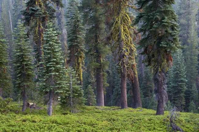 Forest, Lassen Volcanic National Park, Mount Lassen, California, USA