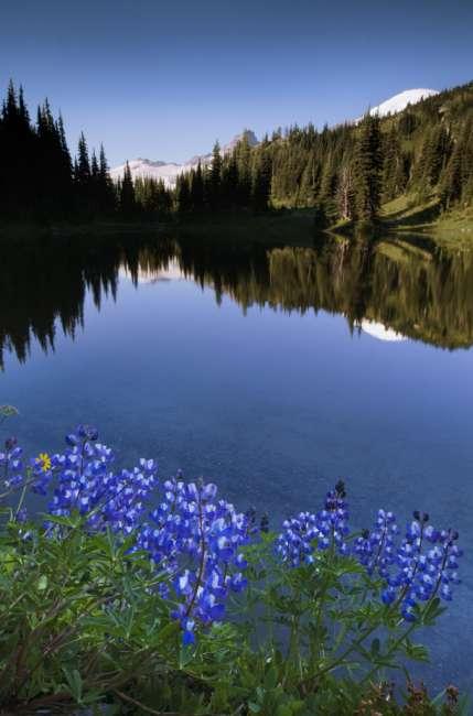 Lupine on the shore of Shadow Lake, Mount Rainier National Park, Washington, USA