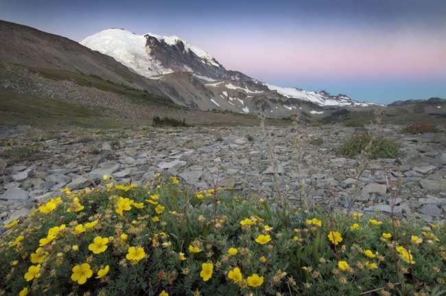alpine glow across wildflowers looking toward the peak of Mount Rainier National Park, Washington, USA