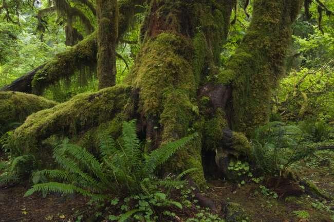 The Hoh rainforest floor, Olympic National Park, Washington, USA