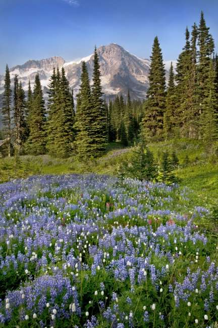 A field of wildflowers in from of Mount Rainier, Mount Rainier National Park, Washington, USA