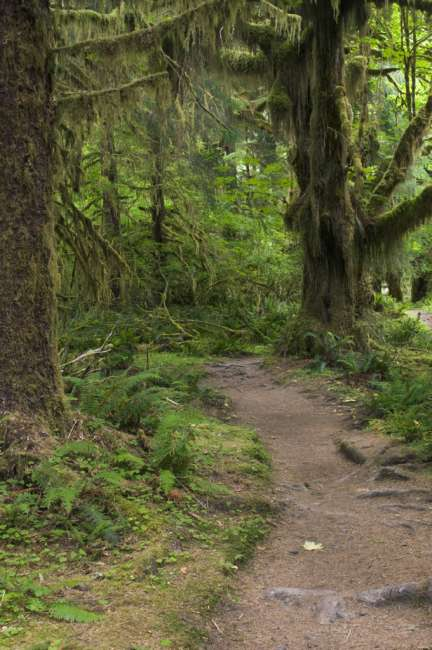 The Hoh rainforest floor and trail, Olympic National Park, Washington, USA