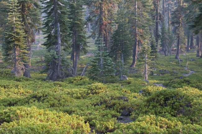 Forest, Lassen Volcanic National Park, Mount Lassen, California, USA
