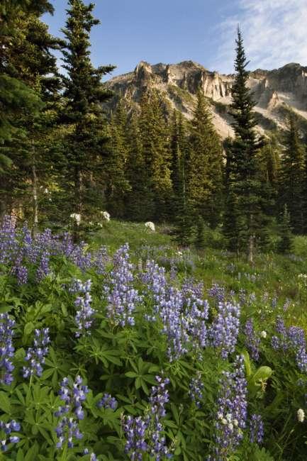 Subalpine wildflowers at Mount Rainier National Park, Washington, USA