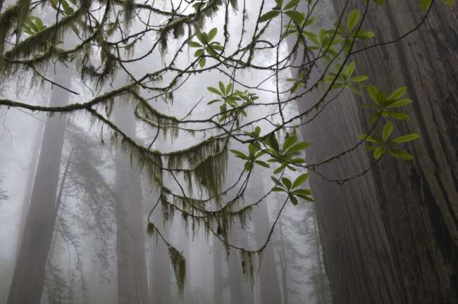 Giant redwood trees shrouded in fog, Redwood National Park, California, USA