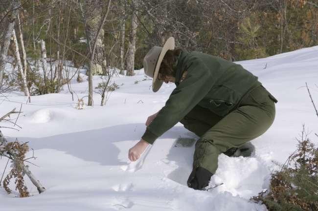 Terry Tucker and volunteer, snowshoeing and inspecting animal tracks along the Black bay ski Trail, Rainy Lake, Voyageurs National Park, Minnesota, USA