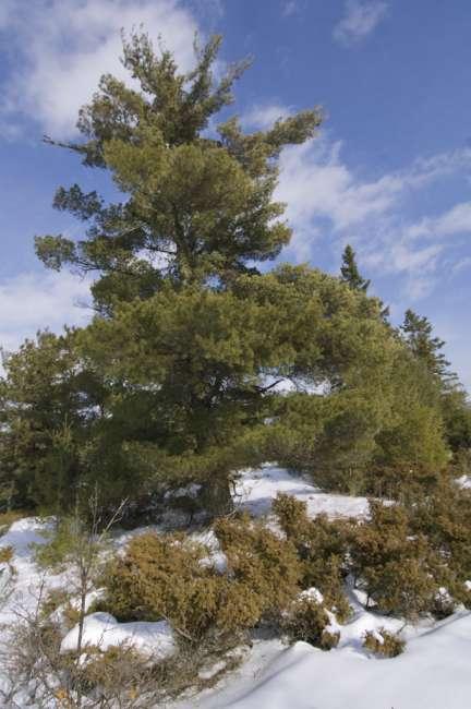 scenic pine along the Black Bay ski trail, Rainy Lake, Voyageurs National Park, Minnesota, USA