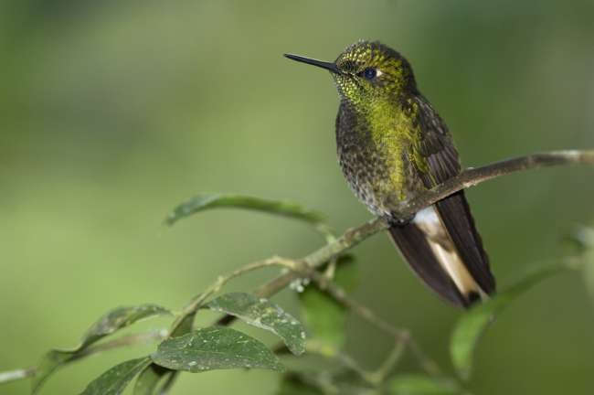 Buff-tailed Coronet, Tandayapa Birding Lodge, Ecuador