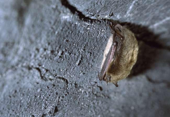 Pipistrellus bat sleeping, Mammoth Cave, Mammoth Cave National Park, Kentucky, KY, USA