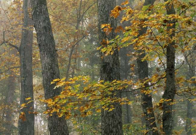 Fall color in a maple, hickory, and tulip forest, Turnhole Bend Trail, Mammoth Cave National Park, Kentucky, KY, USA