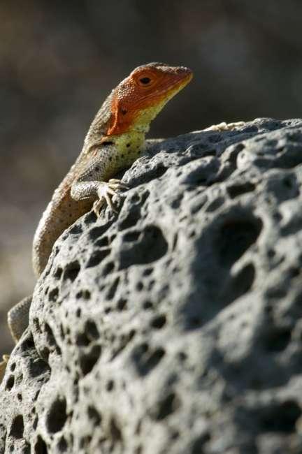 Lava lizard, Galapagos National Park, Ecuador