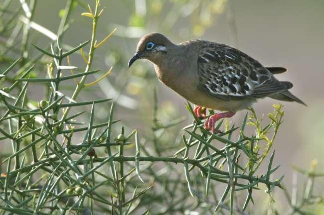 Galapagos Dove (Zenaida galapagoensis) Galapagos National Park, Ecuador