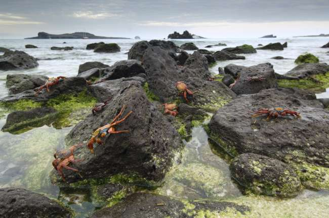 Sally Lightfoot Crabs (Grapsus grapsus) along the shoreline Espanola Island, Galapagos National Park, Ecuador