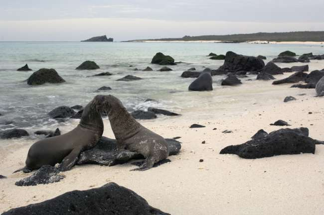 Galapagos Sea Lion (Zalophus californianus wollebacki), Galapagos National Park, Ecuador