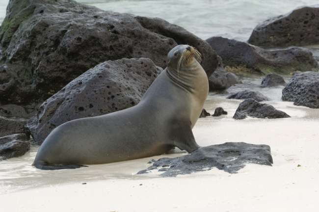 Galapagos Sea Lion (Zalophus californianus wollebacki), Galapagos National Park, Ecuador