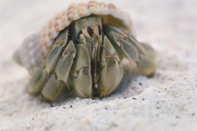 Hermit Crab, Galapagos National Park, Ecuador