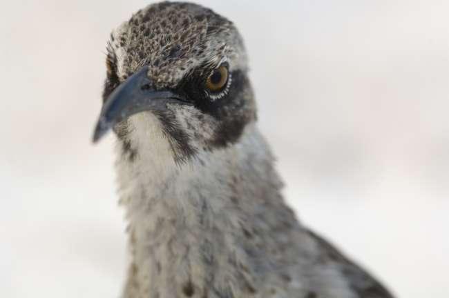 Hood Mockingbird (Nesomimus macdonaldi), Galapagos National Park, Ecuador