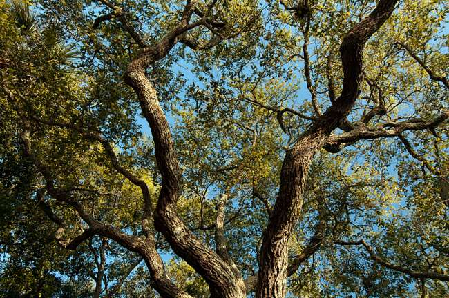 Charleston, South Carolina, USA.  Tree branches stretch out against the cloudless blue sky during early morning light.