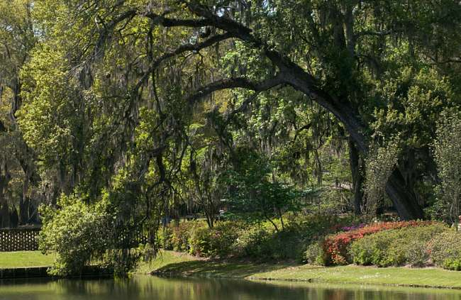 Charleston, South Carolina, USA.  A large tree stretches over a reflecting pond at MIddle Plantations.