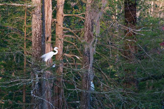 Charleston, South Carolina, USA.  An egret pershed in the Auduobon Swamp Garden at Magnolia Gardens