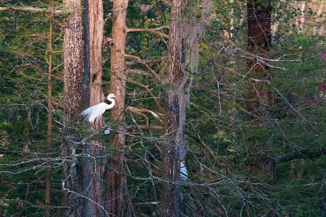 Charleston, South Carolina, USA.  An egret pershed in the Auduobon Swamp Garden at Magnolia Gardens