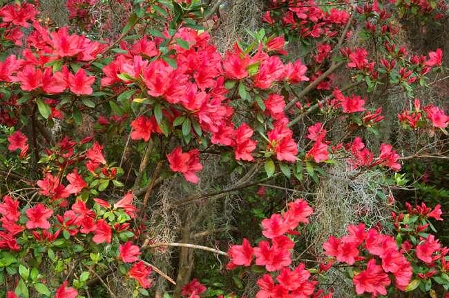 Charleston, South Carolina, USA.  Azaleas in bloom in the spring.
