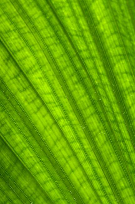 Charleston, South Carolina, USA.  A closeup of patterns and veins in a large palm leaf.