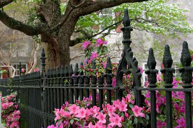 Charleston, South Carolina, USA.  Azaleas along a fence in bloom