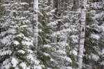 Birch and evergreen with fresh fallen snow, Voyageurs National Park, Minnesota, USA